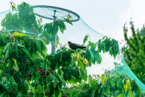 Bird Control In Blueberries