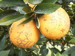 Windbreaks for Citrus - Benefits of Windbreaks