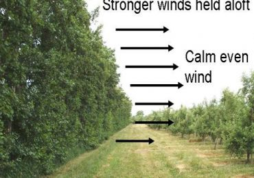 Windbreaks For Citrus